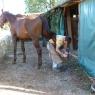 Pferde bekommen neue Schuhe – Foto © Hans Grieb