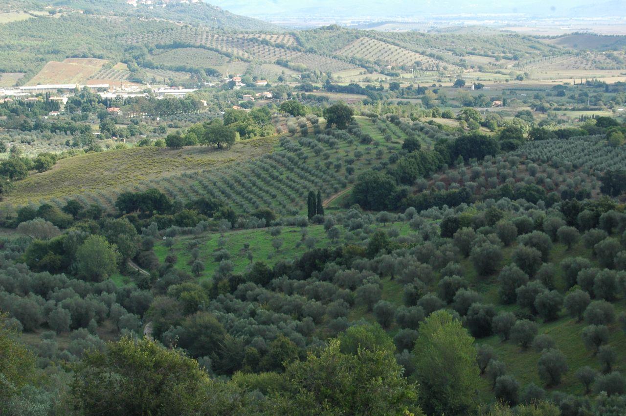 Olivenbäume in der Maremma - Foto © Maibritt Olsen