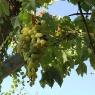 Der Wein wächst direkt in den Mund auf Poggio Ventoso - Foto © Maibritt Olsen