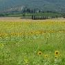 Sonnenblumen – Foto © Maibritt Olsen