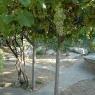 Weinreben auf dem Poggio Ventoso – Foto © Maibritt Olsen